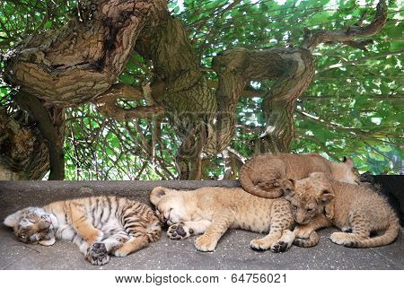 Sleeping  Young Tigers