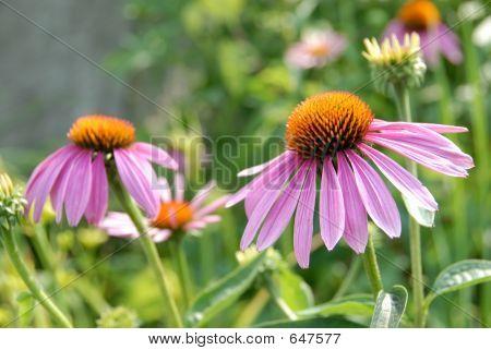 Echinacea Purpurea Blume