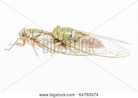 Cicada Insect Isolated On White Background.