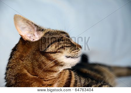 Egyptian Mau cat - pleased