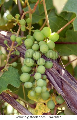 Michigan Grapes