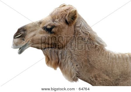 Happy Camel Profile
