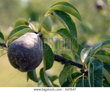 Michigan Pear Tree