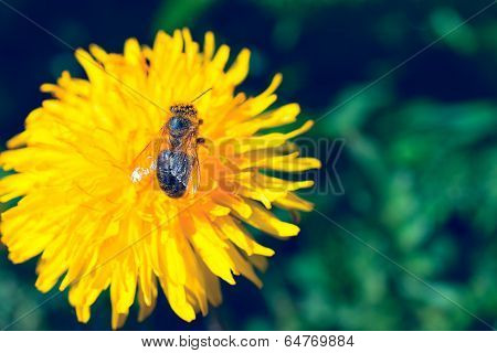 Blowball with a small bee