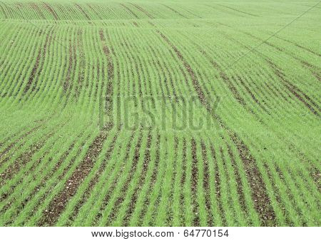 Crop Field In Spring With Harrow Trace