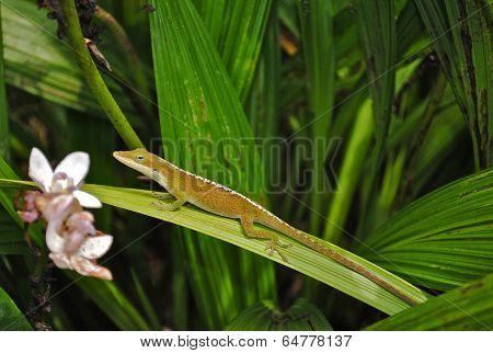 Gecko in Kauai