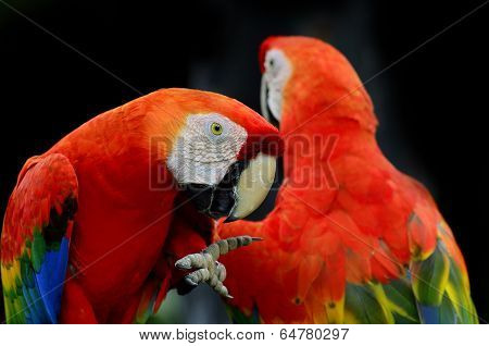 A Scarlet Macaw, Red Macaw, Showing Its Feets Together With Another Macaw In Black Background
