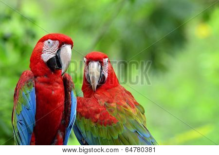 A Sweet Moment Of Green-winged Macaw With Romantic Pair Of Colorful Birds, Red Green Blue Macaw Bird