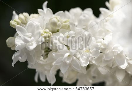 White Lilac Branch On Dark Background Closeup