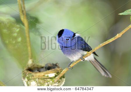 Black-naped Monarch Or Socalled Black-naped Blue Flycatcher, Hypothymis Azurea, Asian Paradise Flyca
