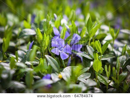 Flower Vinca Minor