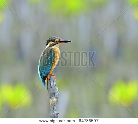 Common Kingfisher, Alcedo Atthis, Perching On Top Stick With Sharp And Details, Bird, Eurasian Kingf
