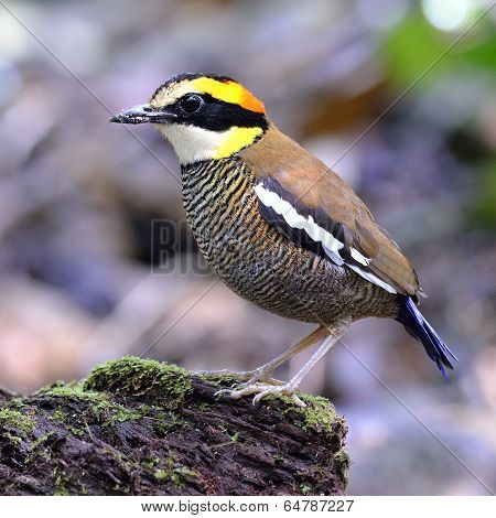 Female Of Banded Pitta (pitta Guajana) Bird Standing On The Log