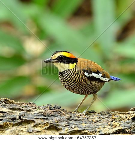 Female Of Banded Pitta Bird (pitta Guajana) With Stripe Feathers On Her Body