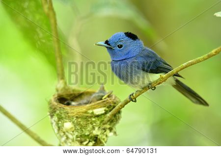 Male Of Black-naped Monarch Or Socalled Black-naped Blue Flycatcher, Hypothymis Azurea, Asian Paradi