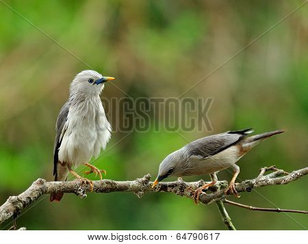 Pair Of Chestnut-tailed Starling Birds (sturnus Malabaricus) In Love Standing On Nice Branch