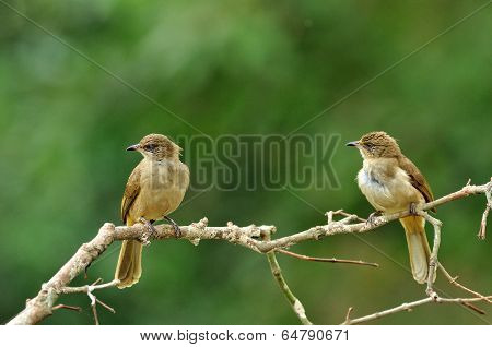 Pair Of Streak-eared Bubul Birds (pycnonotus Blanfordo) Perching On The Branch With Nice Blackground