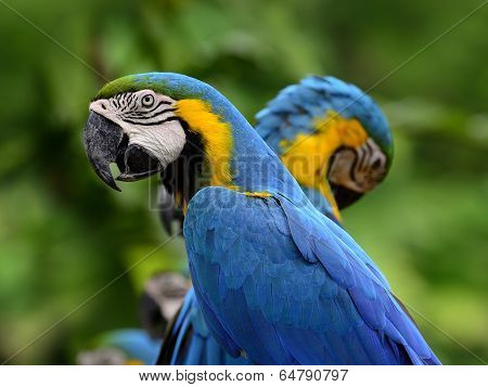Portrait Of Blue-and-yello Macaw, Blue And Golden Macaw With Nice Macaws In Background, Macaw Bird