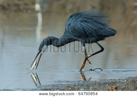 A Western Reef Heron (egretta Gularis) Trying To Catch A Slippery Fish