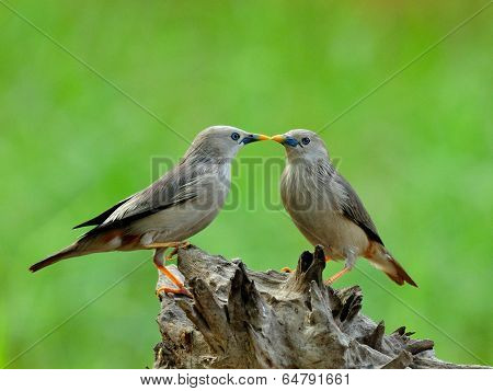 Sweet kissing birds Chestnut-tailed Starling bird (Sturnus malabaricus) in very romantic meoment