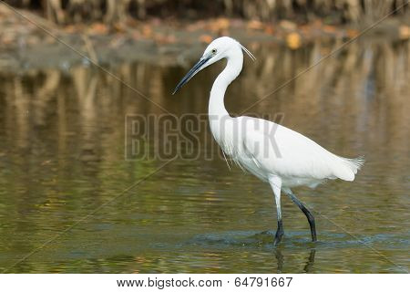 A White Western Reef Heron (egretta Gularis) Probing The Mud With Its Foot To Feel For Fish
