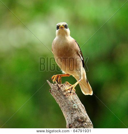 Venus-breasted Starling Bird (sturnus Burnammicus) Perching On The Top Of The Log