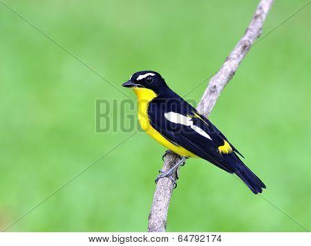 Yellow-rumped Flycatcher Bird (ficedula Zathopygia) Nice Perching On The Branch