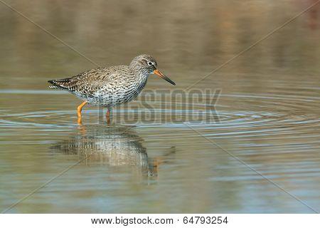 Common Redshank (tringa Totanus) Wading In Shallow Water