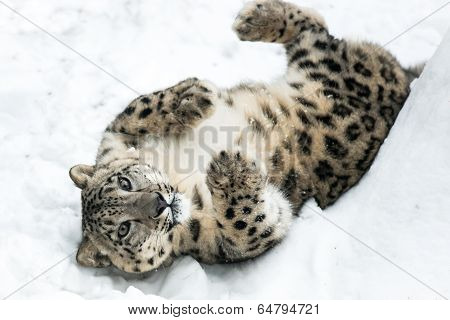 Playful Snow Leopard