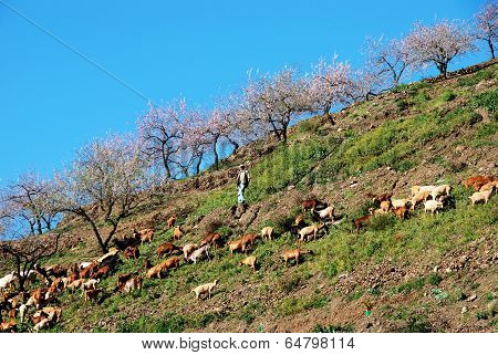 Goatherd on mountainside, Spain.