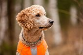 stock photo of standard poodle  - Standard poodle head close - JPG