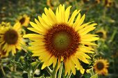 stock photo of leafy  - in the evening on a big sunflower farm that - JPG
