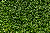 pic of ivy  - Green leaves wall background during day light - JPG