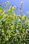stock photo of rape-seed  - Image of oil seed rape in flower - JPG