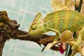 picture of terrarium  - chameleon in a terrarium with orchid flowers - JPG