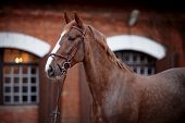 foto of stable horse  - Red stallion - JPG