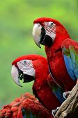 stock photo of green-winged macaw  - Red Macaw Green - JPG