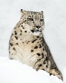 stock photo of snow-leopard  - 3 - JPG