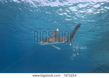 Shark Approaching Snorkeler.
