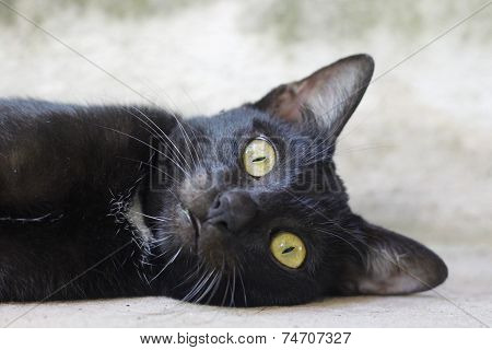 Yellow eye Black cat