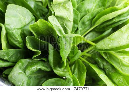 Tuft of fresh sorrel closeup