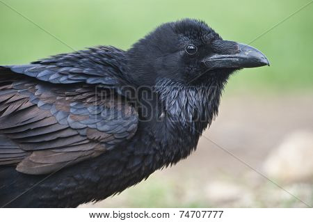 Crow close up