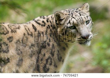 portrait of endangered asian snow leopard Panthera uncia cat