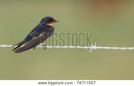 Barn Swallow (hirundu Rustica)