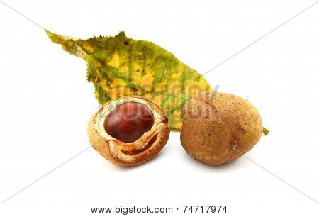 Red Horse Chestnut Tree Leaf And Conker Cases And Seed