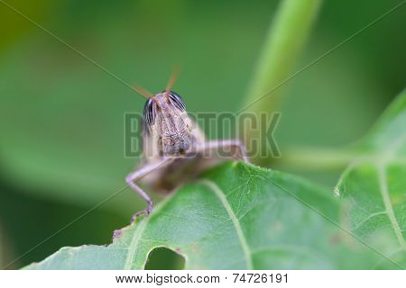 Face of Grasshopper in Nature
