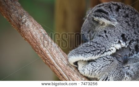 Mother and baby Koala portrait