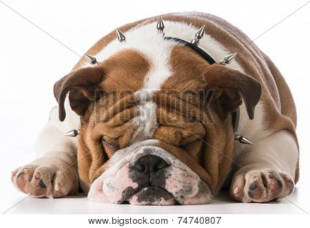 english bulldog puppy wearing spike collar on white background