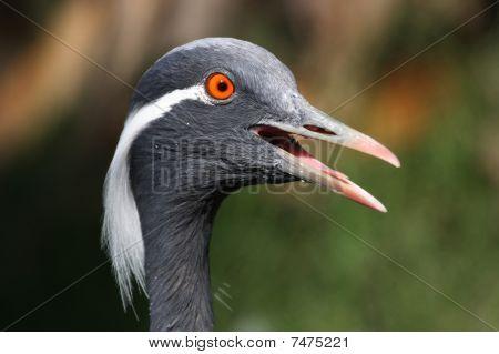 Demoiselle Crane Bird