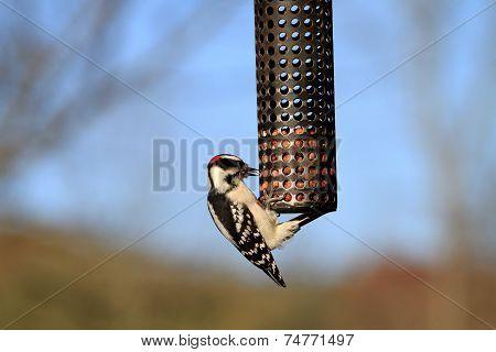 Woodpecker Downy male